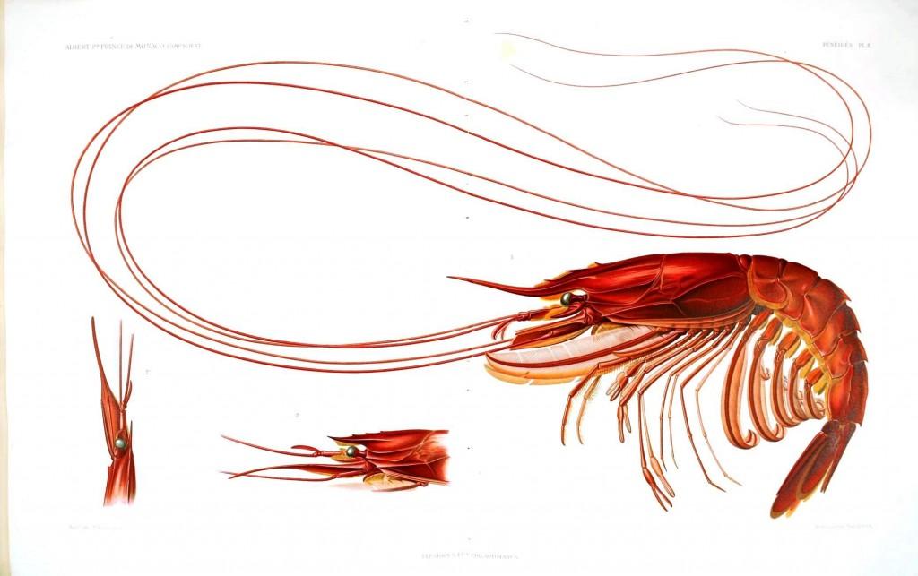 Kırmızı bir karidesin detaylı çizimi