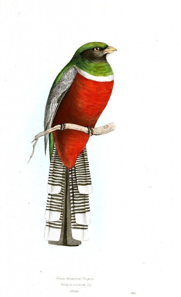 Kemirgen gagalı türü bir kuş, gövdesi kırmızı başı yeşil, kanatları ve kuyruğu kırçıllı siyah beyaz