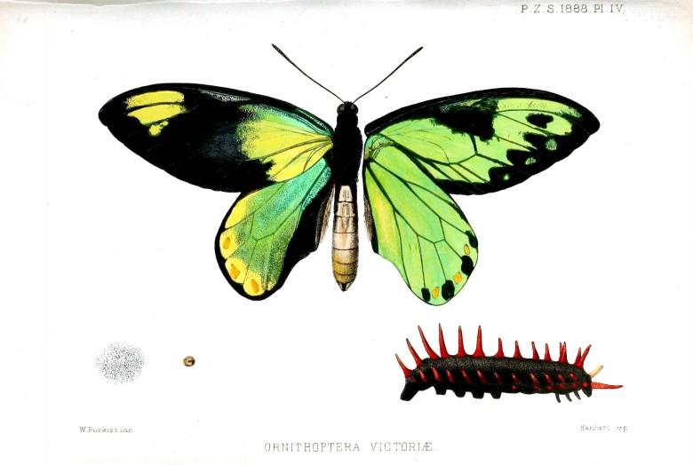 Yeşil renkli kuşkanadı olarak bilinen kelebek türü ve dikenli tırtılı