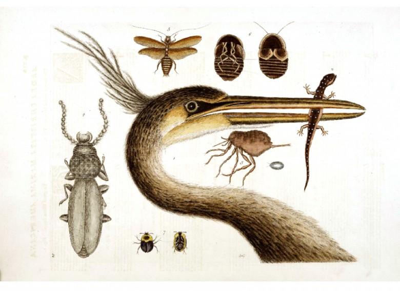 Uzun boyunlu ve muhtemelen suçlu bir kuşun kafa çizimi ve beslendiği kertenkele, böcek, dana burnu gibi hayvanların çizimi.