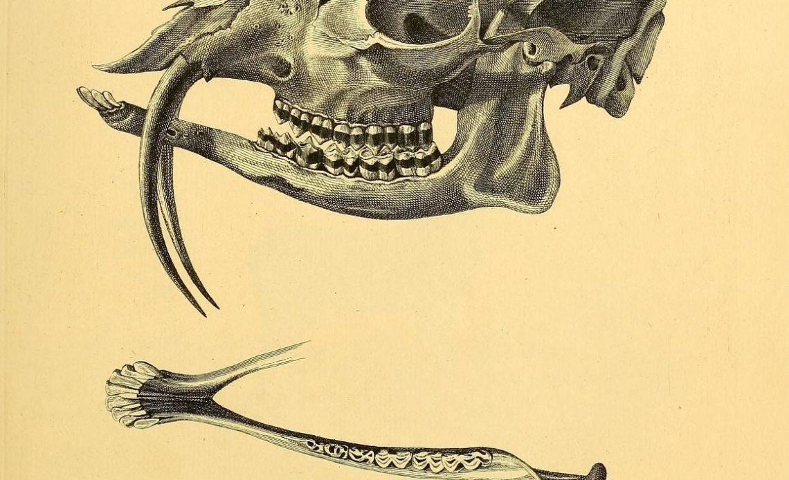 Misk gediği kafa tası, üst iki dişi çok uzun ve alt çenenin de altına iniyor.