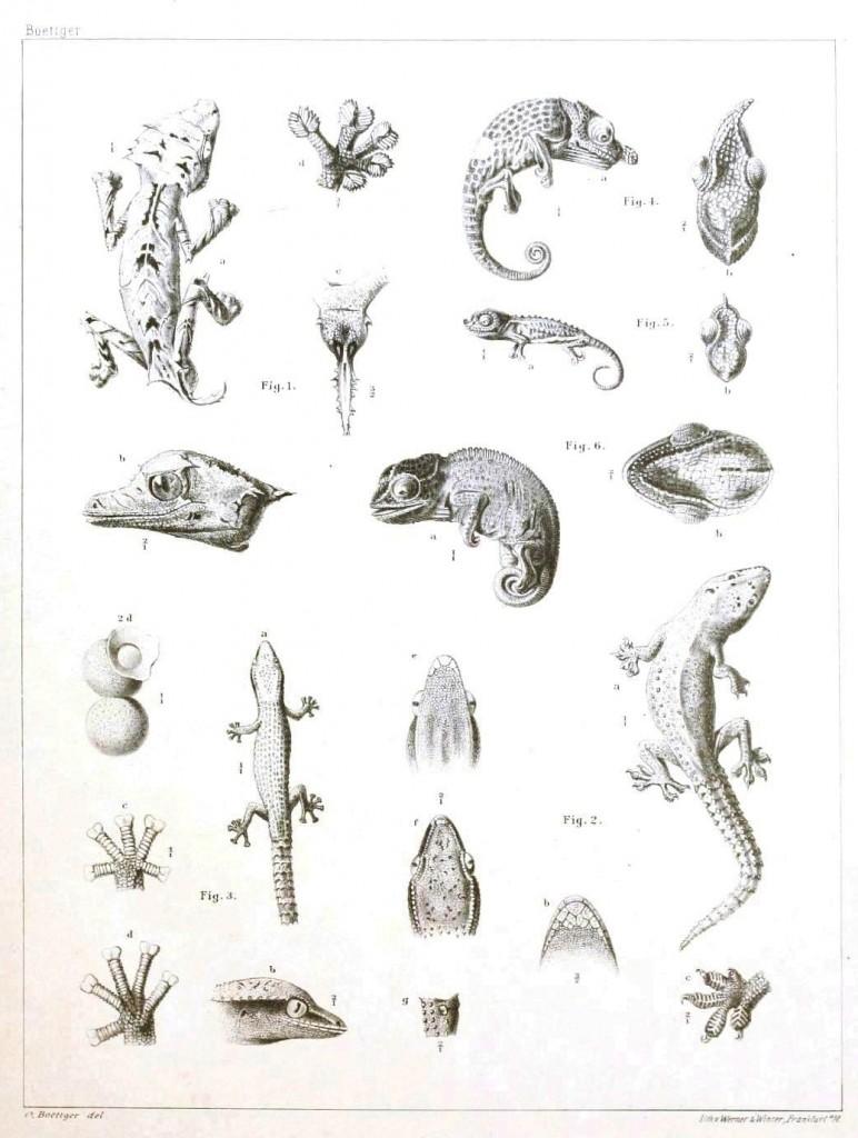 Madagaskar'da yaşayan sürüngen türleri ve kafa çizimleri, Keler, bukalemun, kertenkele gibi türler var