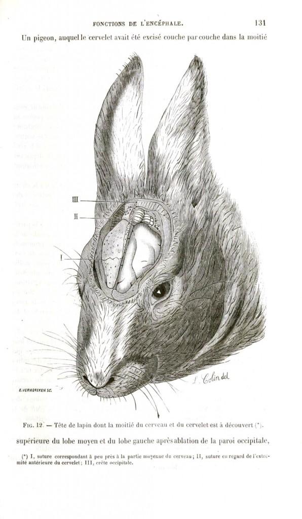 Tavşan beyini
