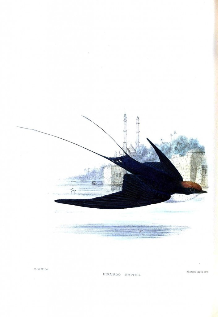 kuyruk tüyleri çatal şekilde ve uzun bir kırlangıç türü.