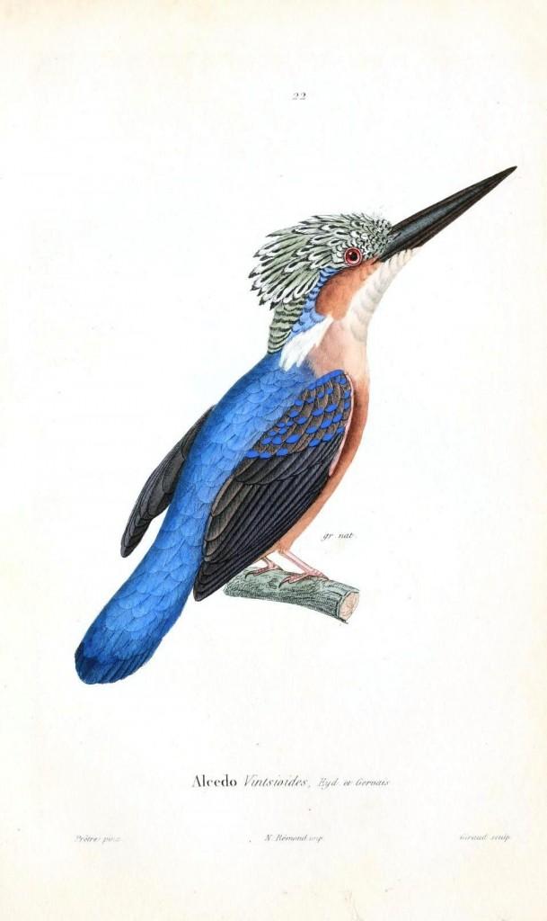 Çin'de yaşayan bir yalıçapkını türü, kafasında tüyler belirgin, vücudu mavi, kanatları lacivert, gerdanı kavuniçi renkli.