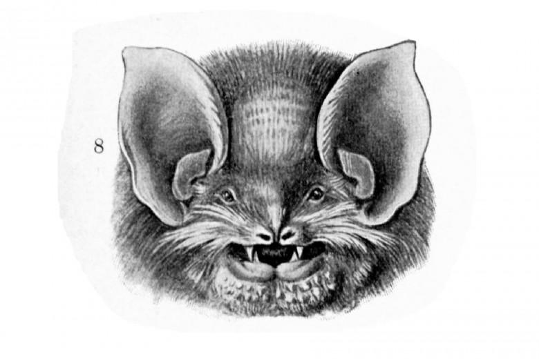 Büyük ulaklı ve küçük gözlü Yarasa kafası çizimi Haeckel, Kundstform de Natur. 1904.