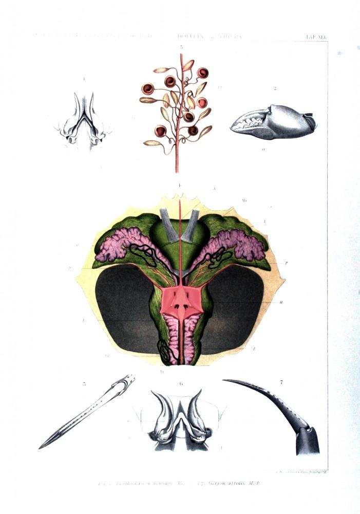 Yengecin iç anatomisini anlatan çizim. Kabuğunun altındaki parçalar.