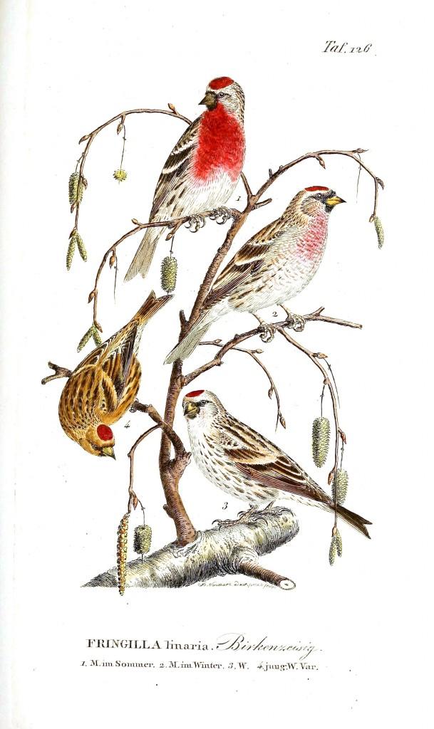 İspinoz türleri bir ağacın dalında resmedilmiş.