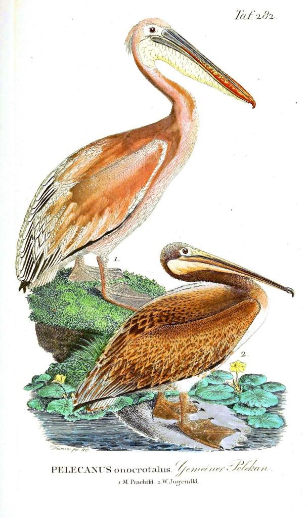 Bir pelikan türü. Vücudu sarımtrak renkte.