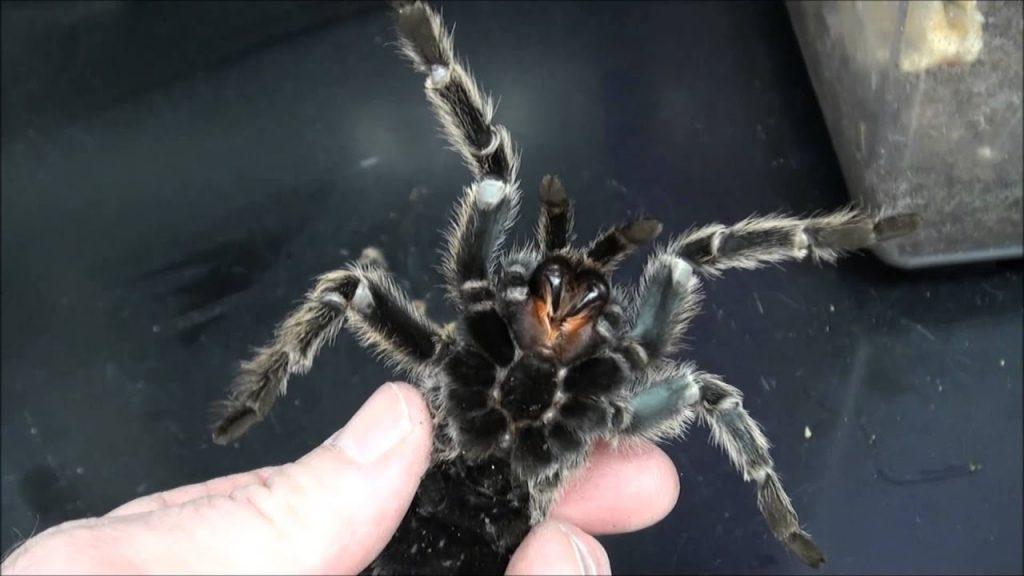 bir tarantulayı elinde tutup gösteren birinin fotoğrafı. tarantulanın dişleri görünüyor.