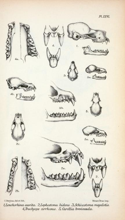 Farklı yarasa türlerinin kafatası anatomileri ve çene yapılarını gösteren çizimler. Haeckel. Kundstformen de Natur. 1909