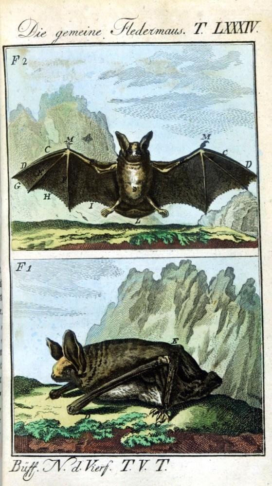 Yarasa yapısının anlatıldığı erken bir çizim. Buffon, Naturgeschichte der vierfusigen. 1785