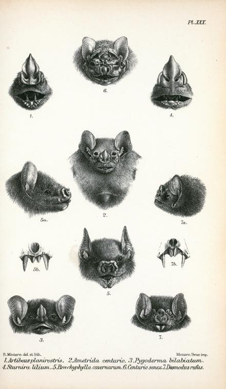 Çeşitli yarasa türlerinin kafalarına ait detaylı çizimler, Haeckel. Kundstformen de Natur. 1909.
