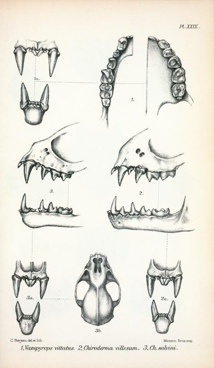 Çeşitli yarasa türlerinin kafatası anatomisi ve diş yapılarını gösteren çizimler. Haeckel. Kundstformen de Natur. 1909