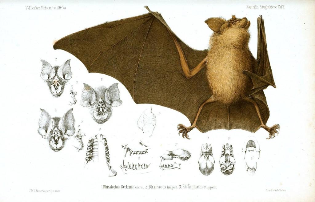 yarasanın vücut yapısını gösteren ve kafatası kemiklerini gösteren çizimler