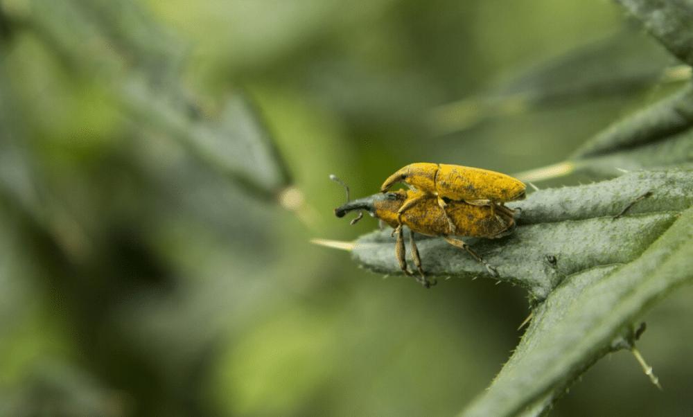 çiftleşen iki sarı böcek