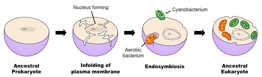 endosimbiyozu gösteren çizim