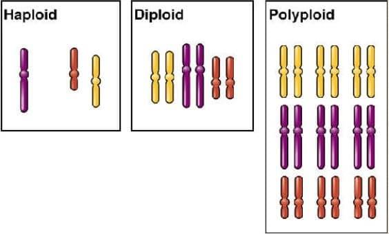 haploit diploit ve poliploitin şematik gösterimi