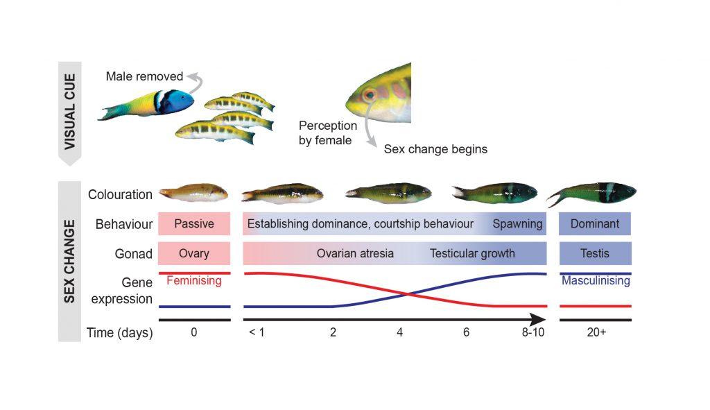 bir hermafrodit balık türünün cinsiyet değiştirme sürecini anlatan diagram. Ortamdaki erkek balık alınınca dişilerden biri erkek balığa dönüşüyor.