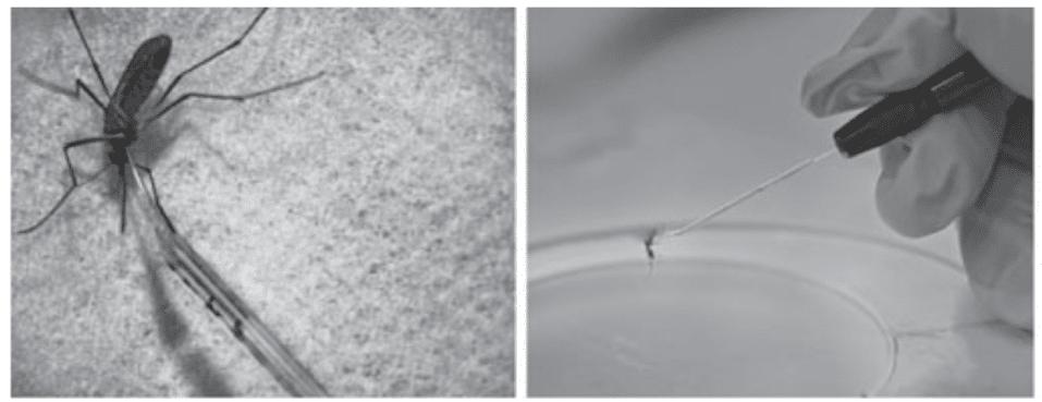 introtorasik inokülasyon işlemi, böceğin üstünde enjektörü, böceğin kabuğunun altına enjeksiyon yapıyor.
