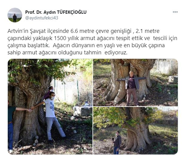 artvin en yaşlı armut ağacı