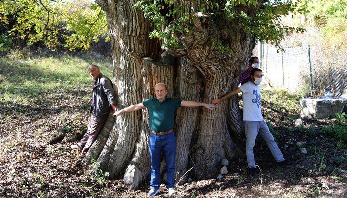 artvin armut ağacı