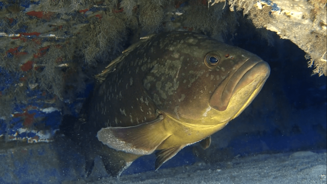 orfoz balığı nedir