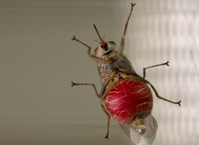çeçe sineği nedir