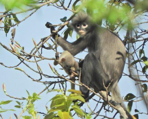 yeni maymun türü keşfedildi