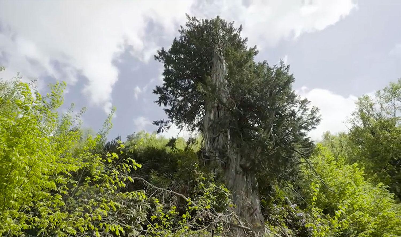 en yaşlı ağaçlar anıt ağaçlar