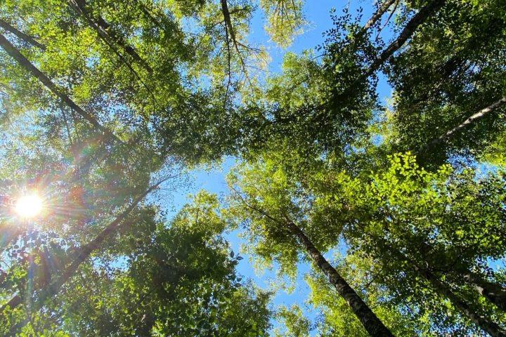 türkiye'nin en yaşlı ağaçları - anıt ağaçlar