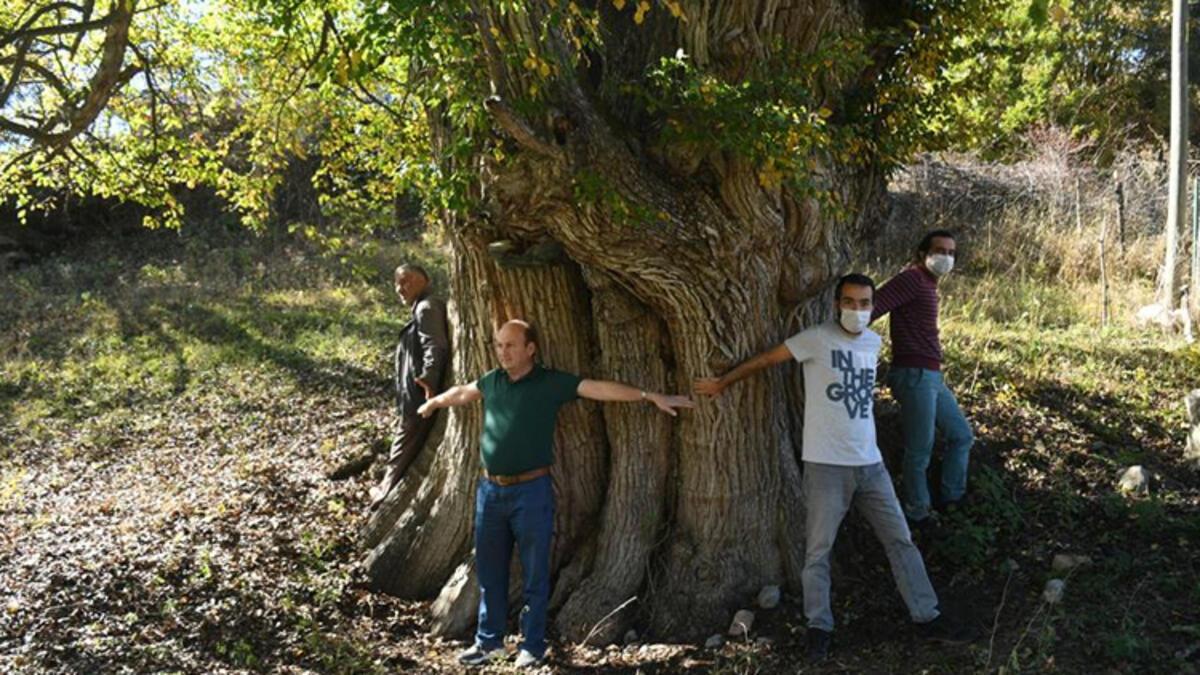 en yaşlı ağaçlar