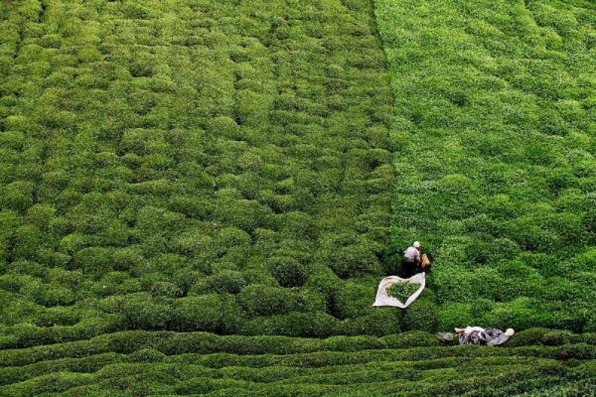 çay tarlaları için heyelan riski