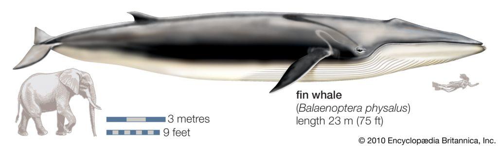 Türkiye'de görülen oluklu balinanın fil ve dalgıçla karşılaştırılması. Yaklaşık 5-7 Fil kadar boyutu var.