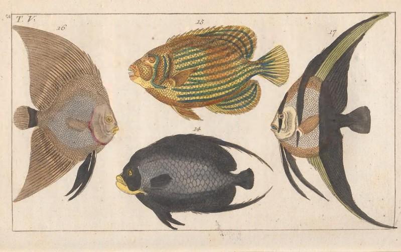 4 farklı çeşitte melek balığının elle çizimi.