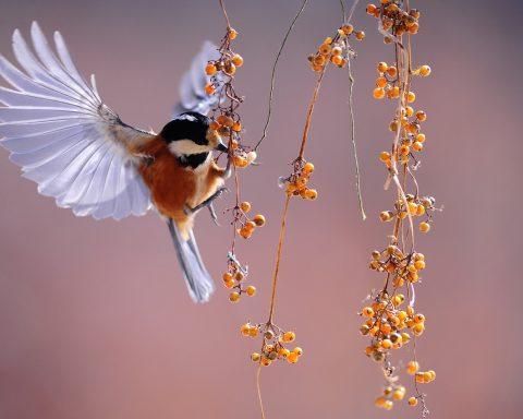 saka üzümsü meyveleri yemeye çalışıyor uçarken.